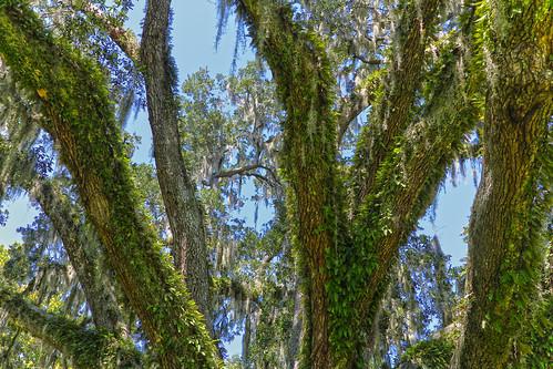 moss florida south southern liveoak 30a edengardens floridapanhandle edengardensstatepark