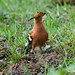 African Hoopoe - Photo (c) Carol Foil, some rights reserved (CC BY-NC-ND)