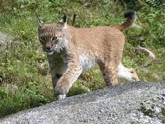 animal, small to medium-sized cats, mammal, lynx, fauna, wild cat, bobcat, wildlife,