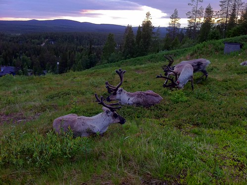 finland reindeer lapland sallatunturi nbe2011