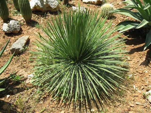 A046 agave geminiflora