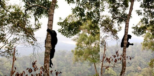 Gibbon babies