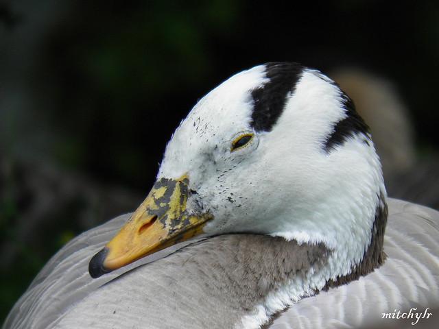 Bar-Headed Goose 1
