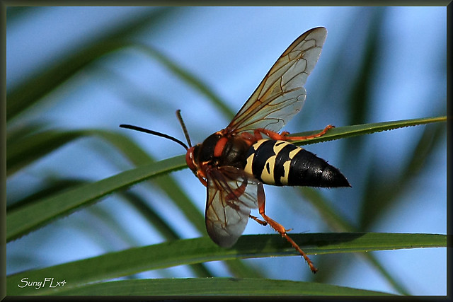 Large Flying Insects Florida http://www.flickr.com/photos/sunyflx4/5988214651/