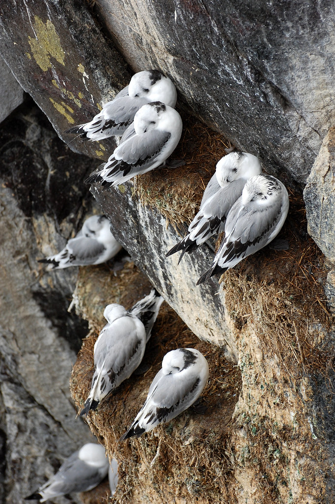 Rissas en los acantilados de las islas de Farne. Northumberland, Inglaterra