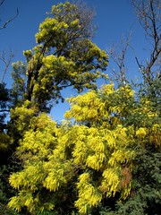 Golden Wattle Contrast