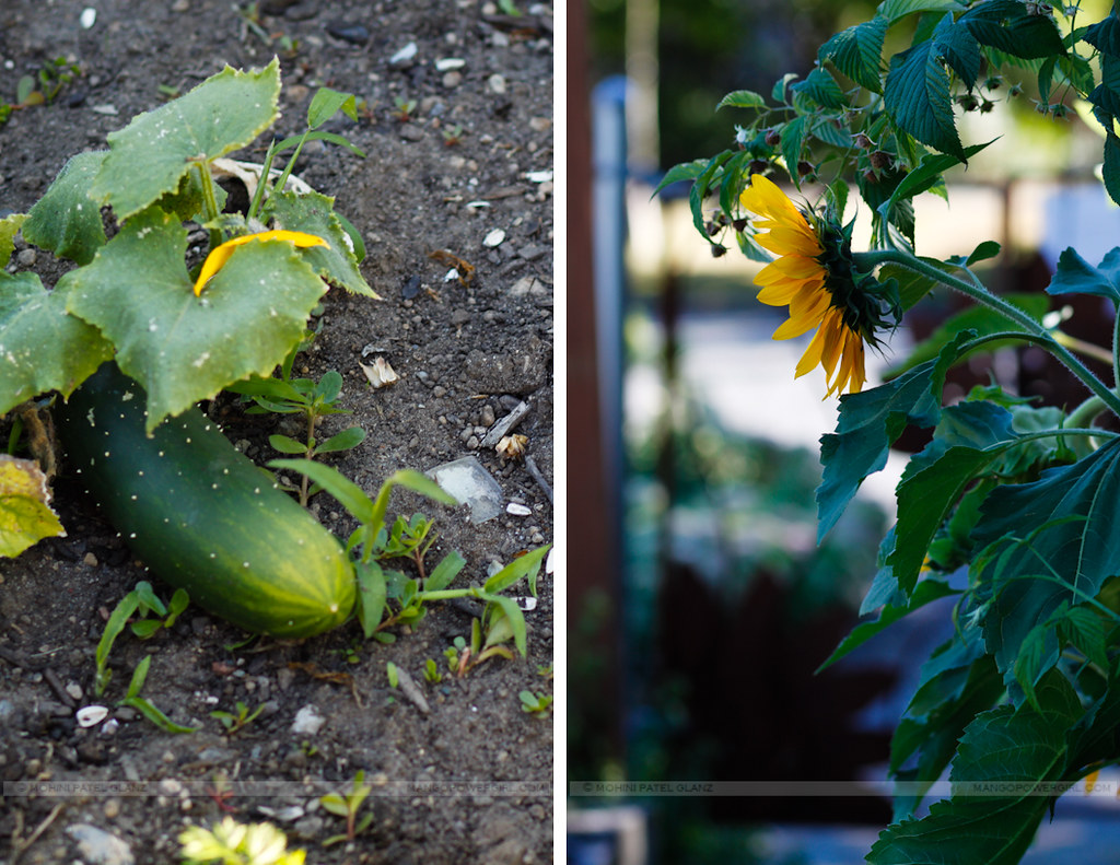 cucumbers & sunflowers