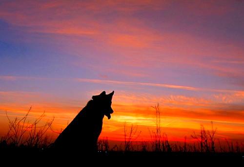 dog dogs husky dusk kern siberianhusky aurora siberian bakersfield kerncounty pointyfaceddog canonpowershotsx20is