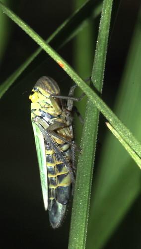 Cicadella viridis 0422
