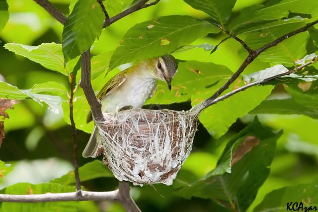 Red eyed vireo nest - photo#52