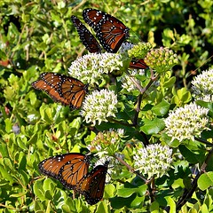 Curtiss' Milkweed & Friends