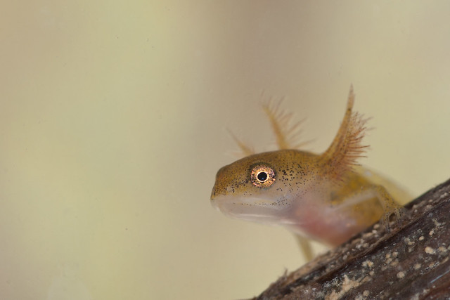 smooth newt tadpole edited
