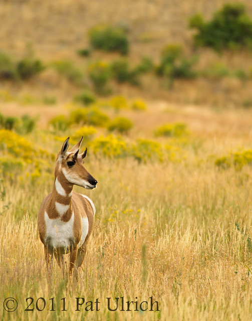 Pronghorn in the grass