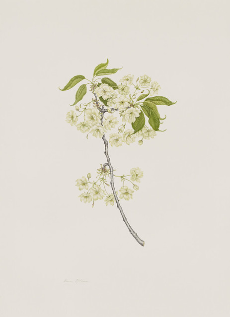 "Dianne McElwain, Prunus 'Ukon', 2010. Japanese Hill and Pond Garden. Watercolor on Fabriano Artistico 300lb. hot press. 30"" x 22""."