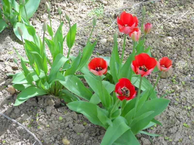 Tulipa multiflora 2