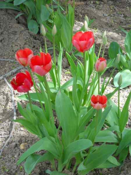 Tulipa multiflora v 1