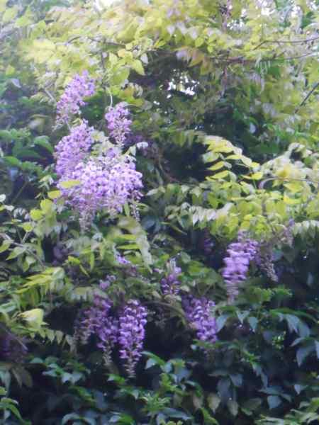 Wisteria sinensis v 1