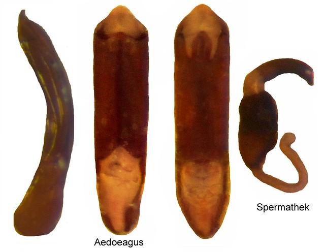 Aphthona euphorbiae schrank 1781 genital flickr for Schrank flach