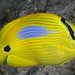Blue-spot Butterflyfish - Photo (c) Klaus Stiefel, some rights reserved (CC BY-NC)