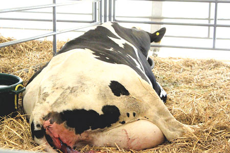 cow-giving-birth | The miracle of birth…the bloody ...