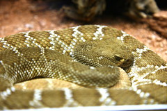 boas, animal, serpent, eastern diamondback rattlesnake, snake, reptile, fauna, viper, close-up, scaled reptile, kingsnake,