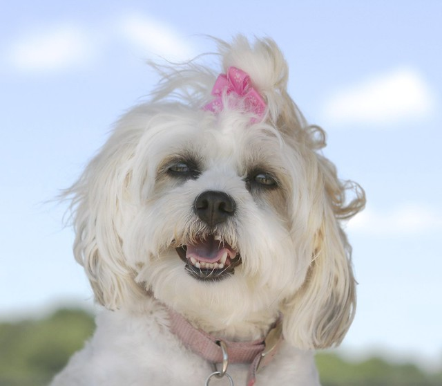 Shih Tzu and Maltese Mix