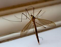 A crane fly (Tipula oleracea) or