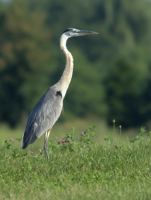 Great Blue Heron 20110803