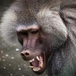angry pavian Zoo Leipzig