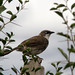 Small photo of Northern Pied Babbler