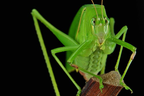 Katydid or Bush Cricket (Phaneropterinae)