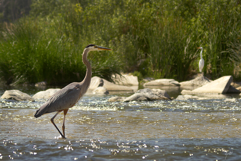 Los Angeles River - Great Blue Heron and Snowy Egret