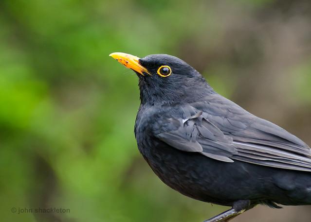 Blackbird / Mirlo común (Turdus merula)