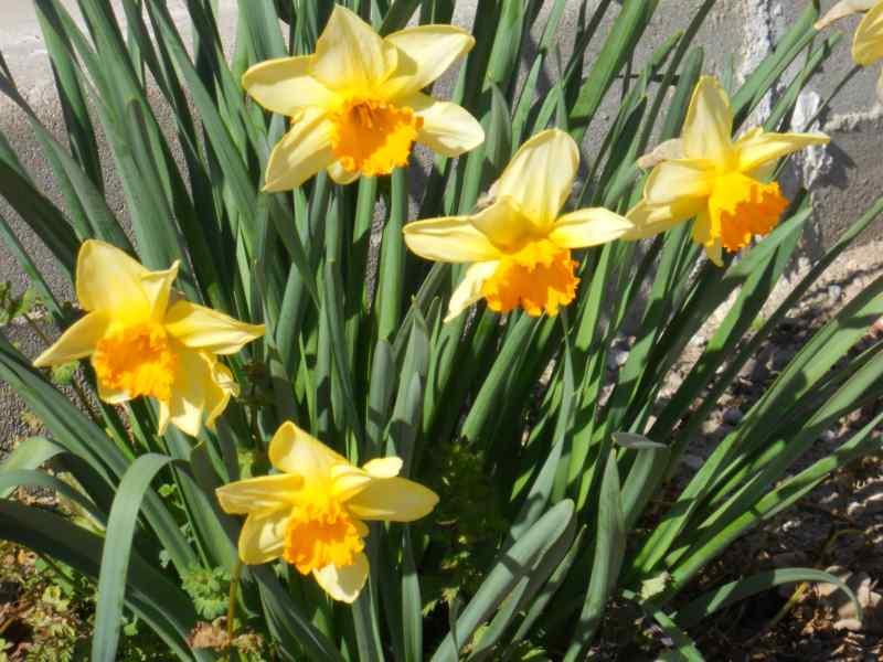 Narcissus trompeta hybridus 3