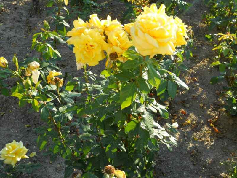 Rosa floribunda 5