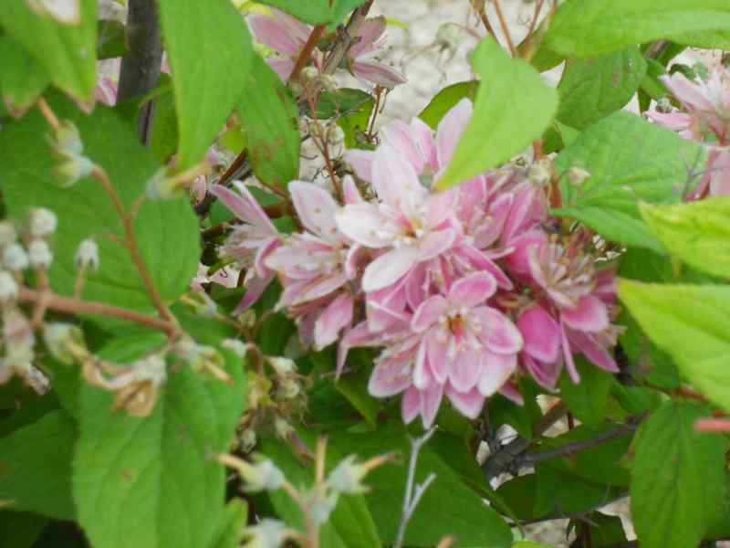 Deutzia lemoinei 'Mont Rose' 4