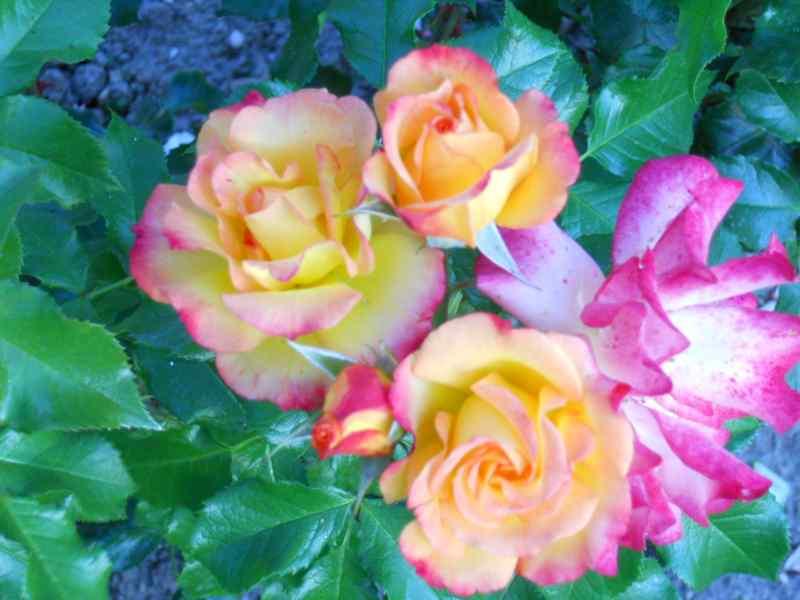 Rosa 'Madame A. Meilland' 1