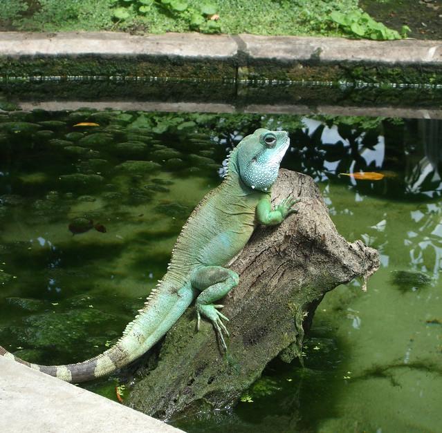 Chinese Water Dragon, Princess of Wales Conservatory, Kew Gardens - London.
