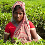 Picking Tea Leaves - Srimongal, Bangladesh