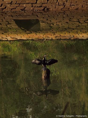 Cormorant at the Lane Cove River