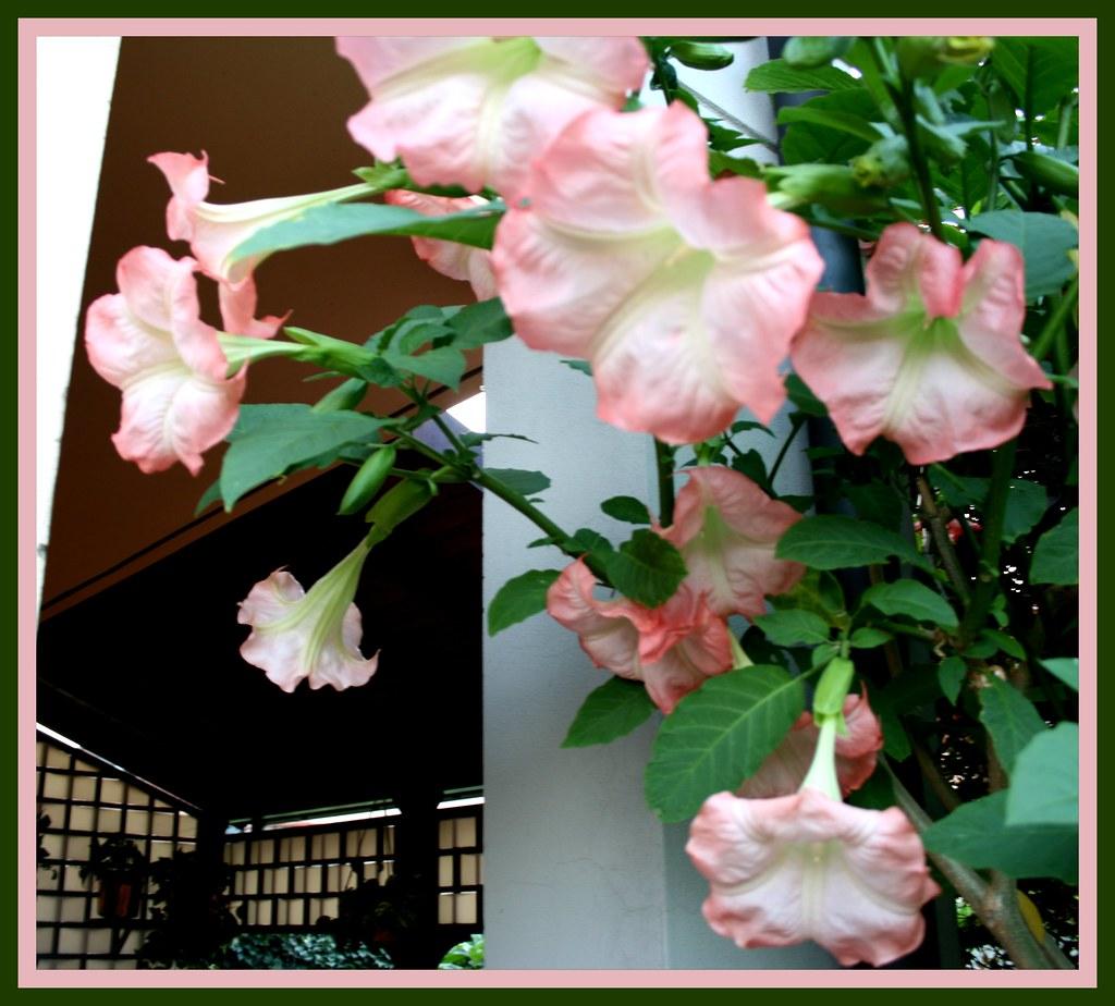 Troppe Mosche In Giardino datura rosa del mio giardino 2011 | scusate se mi assento un