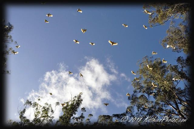 Cockatoos in flight