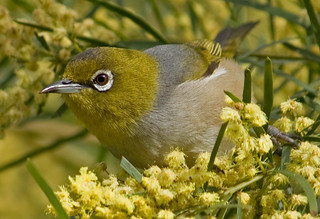 Silvereye on Wattle Up Close