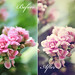 "Kalanchoe  / Before & After (Action ""Set AllEdges01 AE2"")"