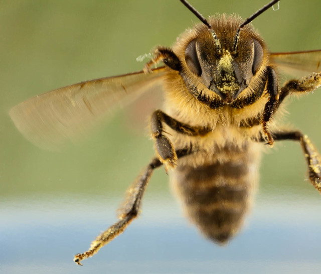 Flight of the honey bee | Flickr - Photo Sharing!