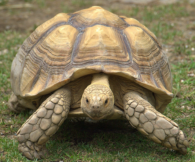 African spurred tortoise - photo#1