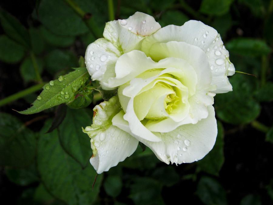 Lovely rose! Приятного вам дня !  IMG_1743
