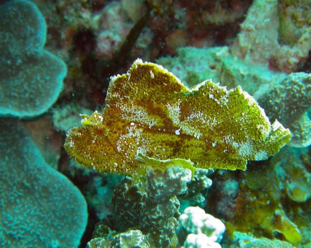 leaf scorpionfish - photo #35