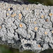 Crabseye Lichens - Photo (c) Richard Droker, some rights reserved (CC BY-NC-ND)