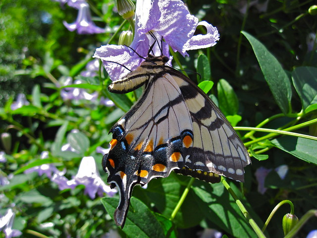 A swallowtail butterfly looks for food on Clematis 'Betty Corning'. Photo by Rebecca Bullene.
